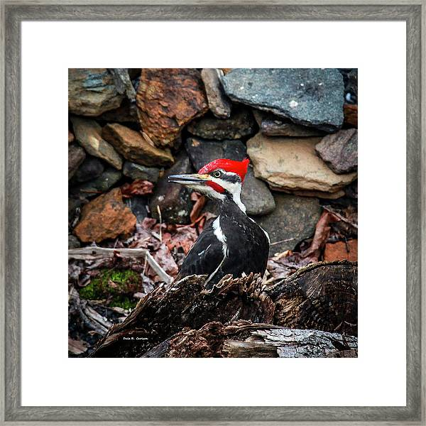 Pileated Pete Framed Print
