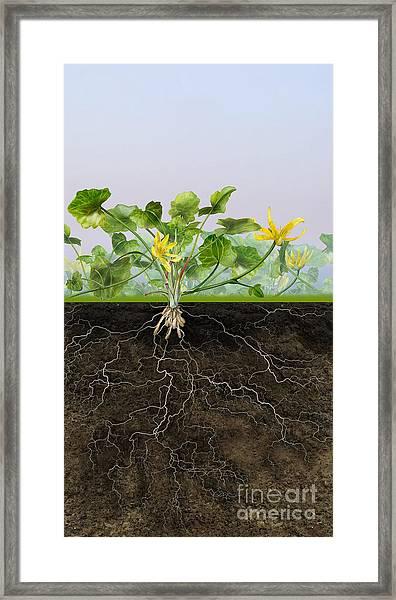 Pilewort Or Lesser Celandine Ranunculus Ficaria - Root System -  Framed Print