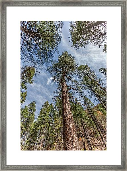 Pine Cathedral On The West Fork Framed Print