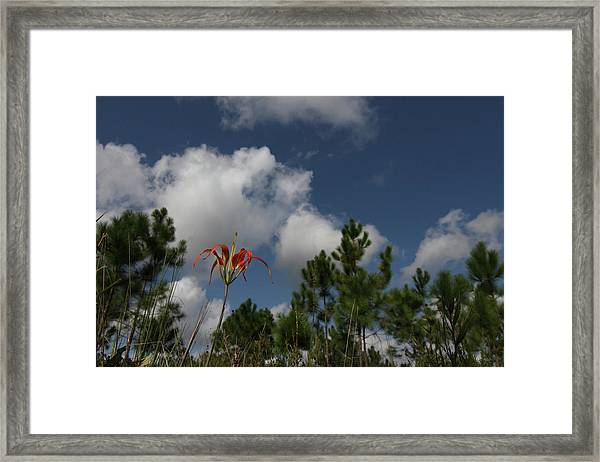 Pine Lily And Pines Framed Print