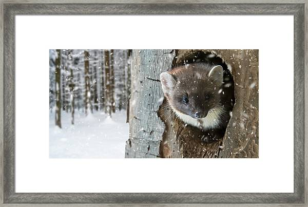 Pine Marten In Tree In Winter Framed Print