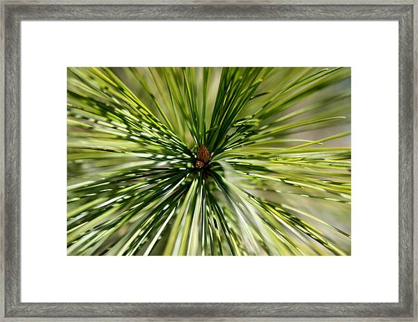 Pine Needles Framed Print