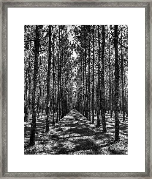 Pine Plantation 5655_6_7 Framed Print