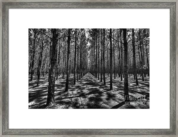 Pine Plantation Wide Framed Print