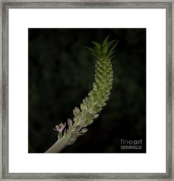 Pineapple Lily Framed Print