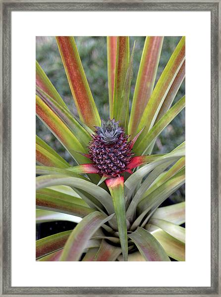 Pineapple, Oahu Framed Print