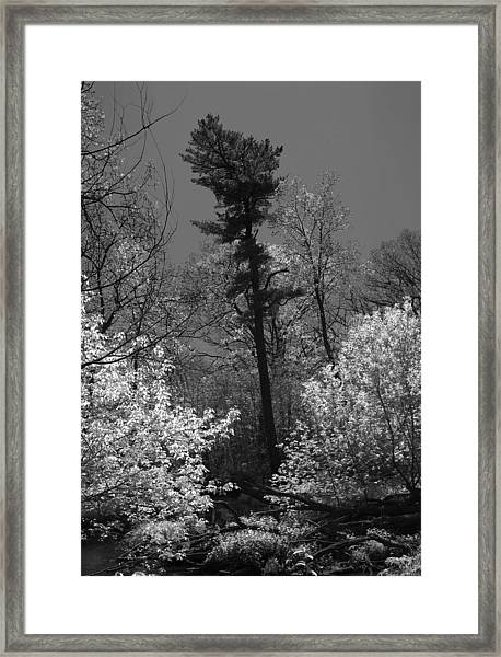 Pineing Away Framed Print