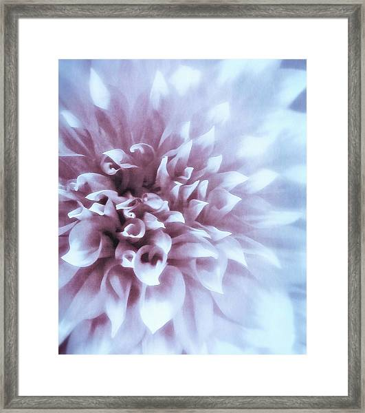 Pink And Blue Dahlia Framed Print