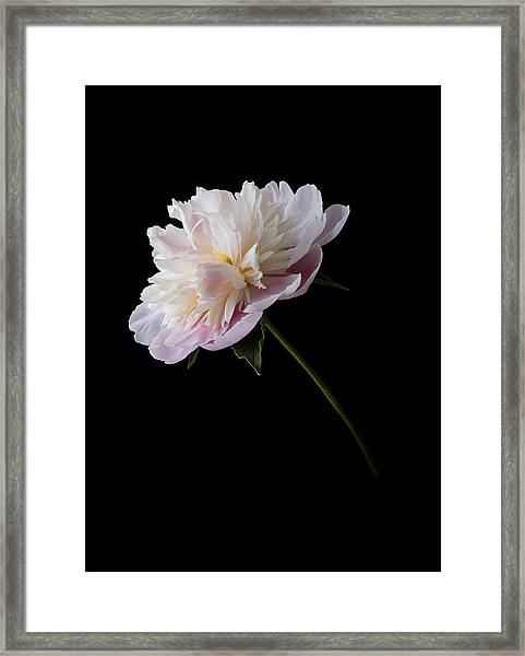 Framed Print featuring the photograph Pink And White Peony by Patti Deters