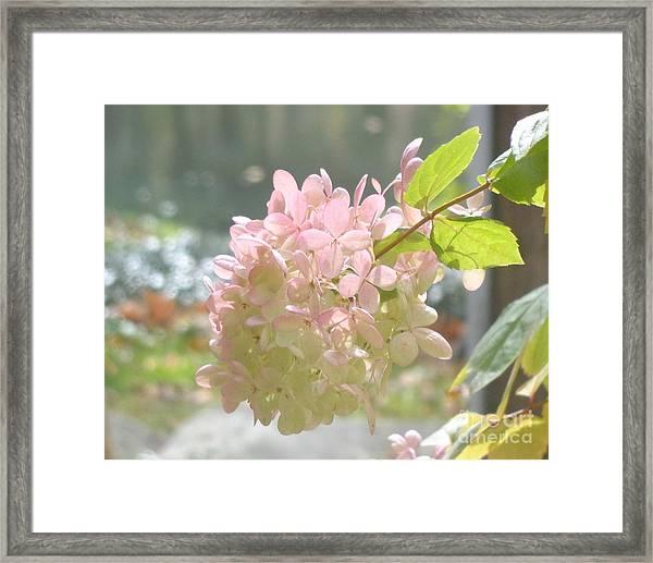 Pink Bloom In Sun Framed Print