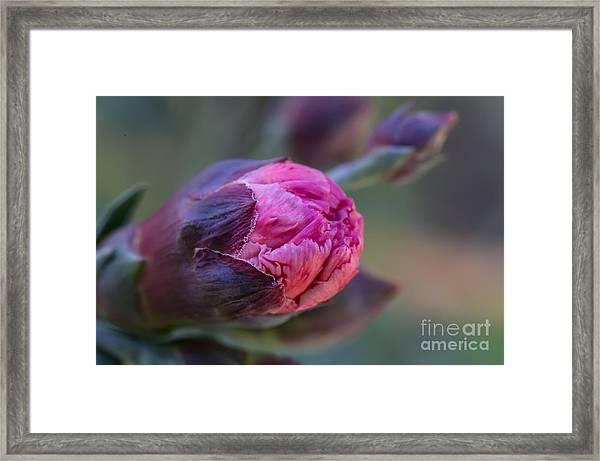 Pink Carnation Bud Close-up Framed Print