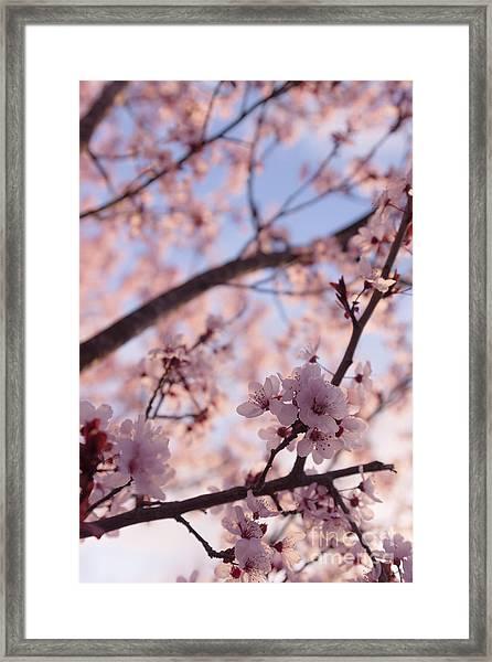 Pink Cherry Blossoms Framed Print