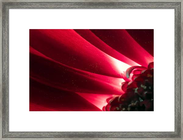 Pink Chrysanthemum Flower Petals  In Macro Canvas Close-up Framed Print