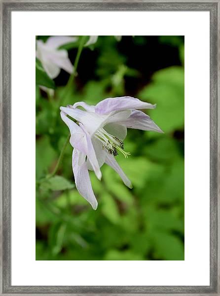 Pink Columbine Framed Print