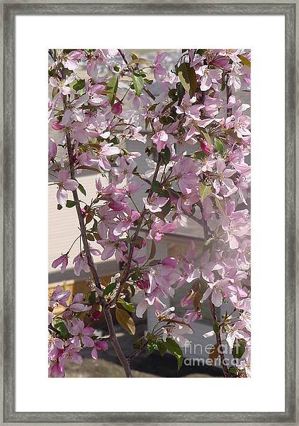 Pink Crabapple Branch Framed Print