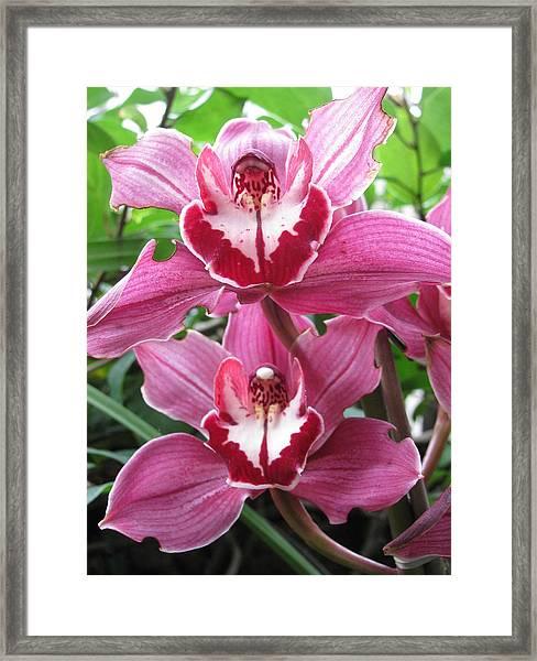 Pink Cymbidium Orchids Framed Print