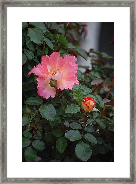 Pink Dawn Framed Print by Helen Carson