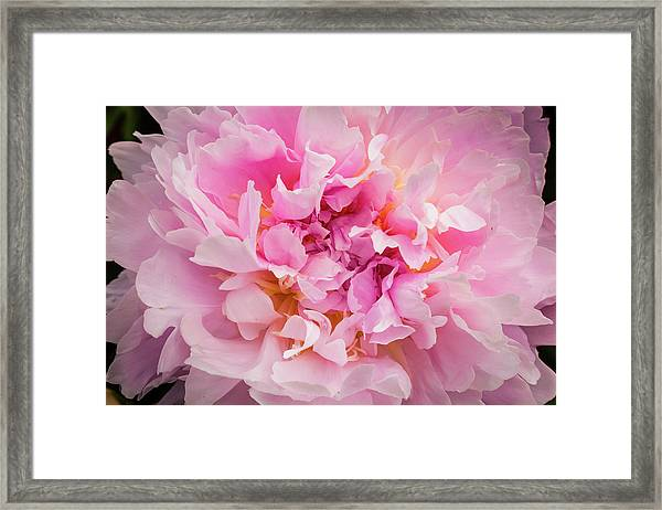 Pink Double Peony Framed Print