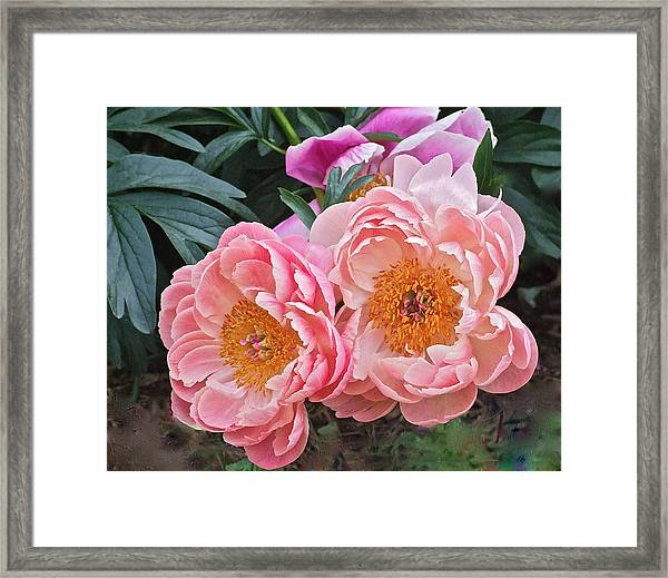 Pink Duo Peony Framed Print