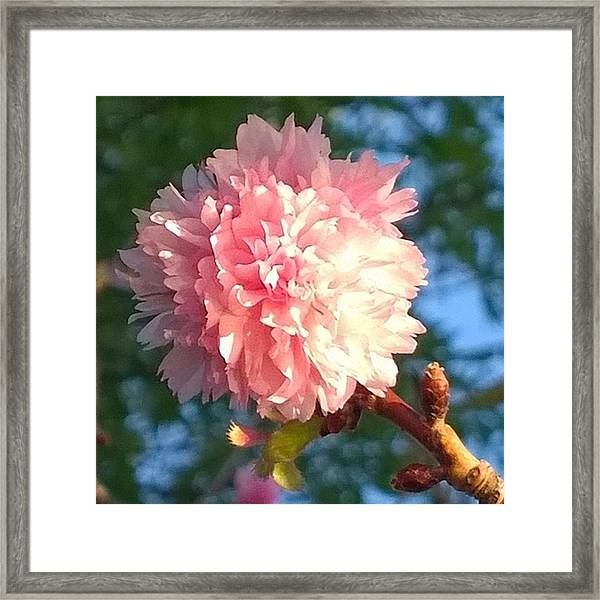 Pink Flower Bloom In Sunset. #flowers Framed Print
