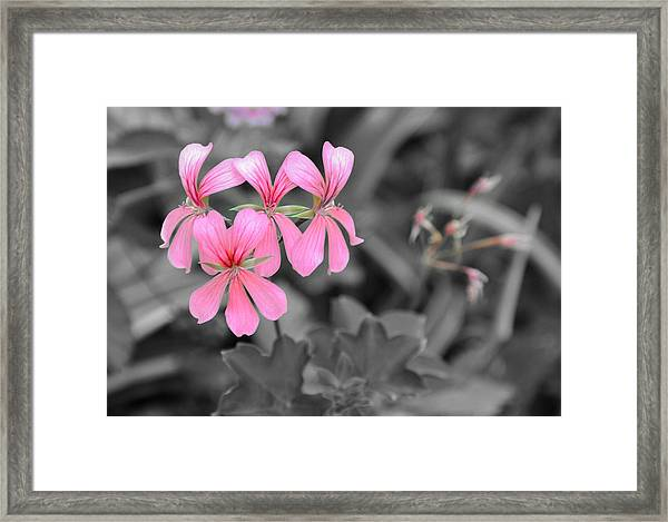 Pink Flowers On A Monochrome Background Framed Print