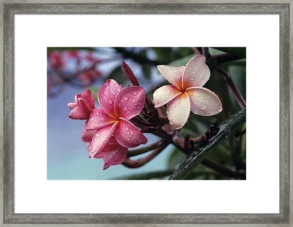 Pink Frangipani Flower And Raindrops Framed Print