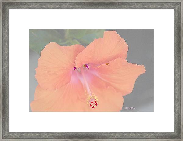Pink Heavenly Hibiscus Framed Print