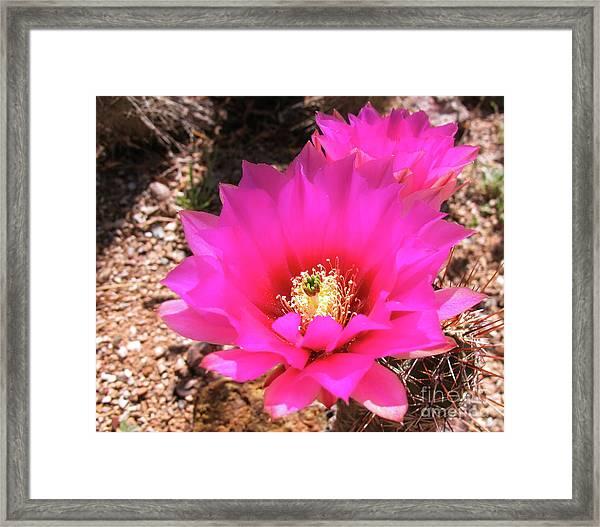 Pink Hedgehog Flower Framed Print