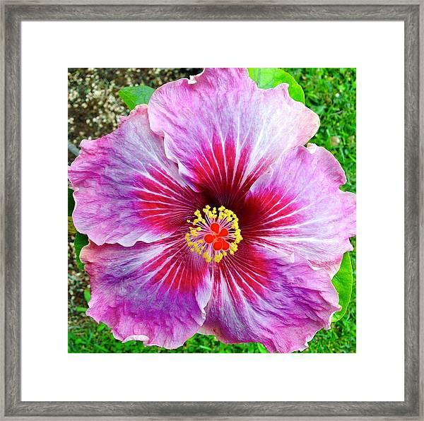 Pink Hibiscus Joyous Cosmology Framed Print