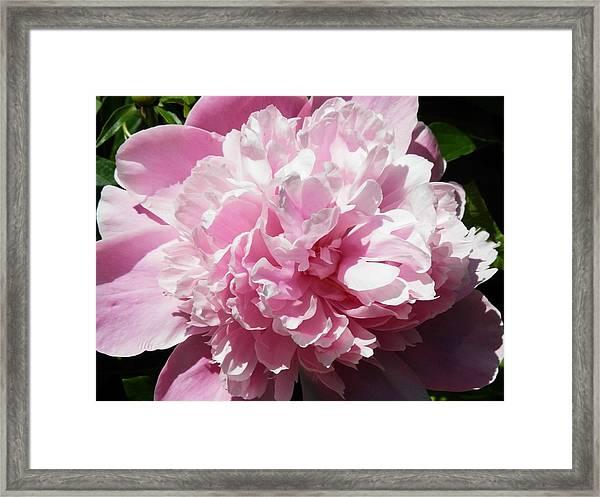 Pink In Bloom Framed Print