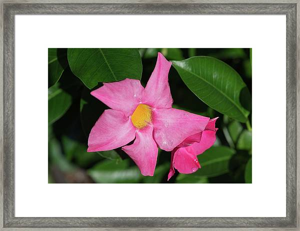 Pink Mandevilla Framed Print