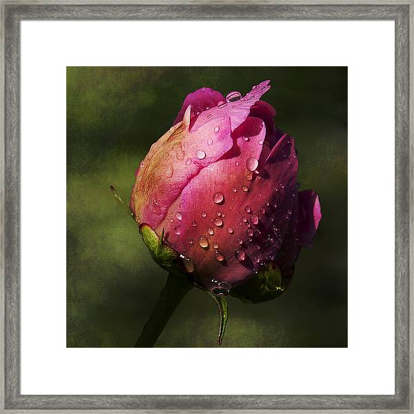 Framed Print featuring the photograph Pink Peony Bud With Dew Drops by Patti Deters