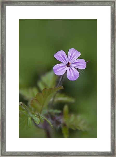 Pink Phlox Wildflower Framed Print