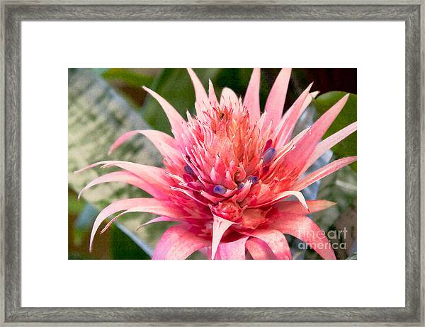 Pink Protea Art Framed Print by Sherry  Curry