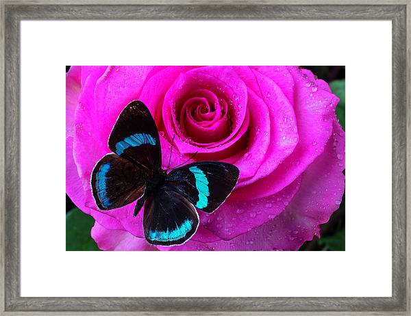 Pink Rose And Black Blue Butterfly Framed Print