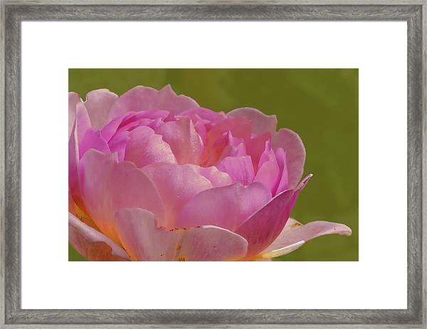 Pink Rose #d3 Framed Print