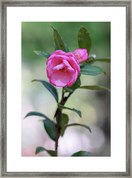 Pink Rose Flower Framed Print