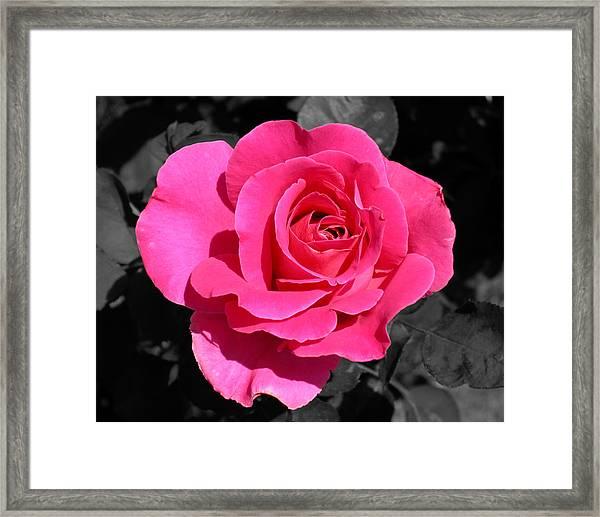 Perfect Pink Rose Framed Print