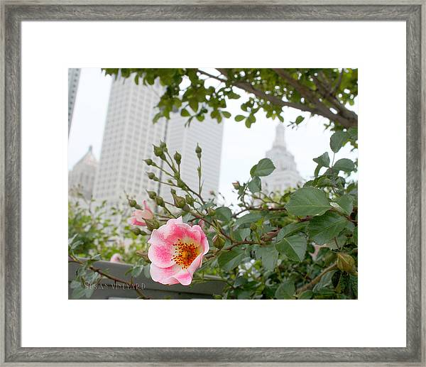 Pink Rose Of Tulsa Framed Print