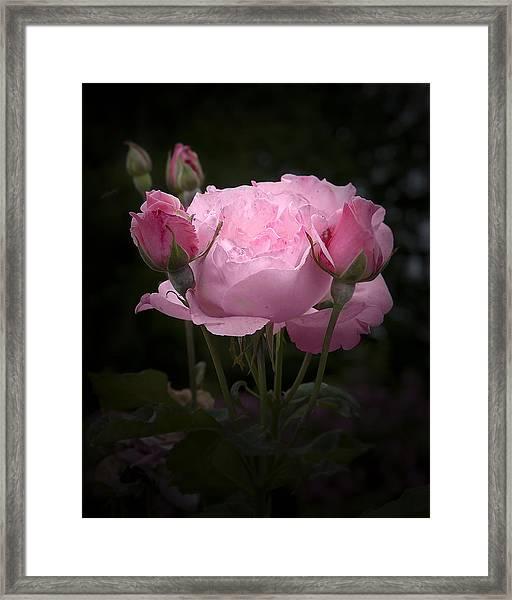 Pink Rose With Buds Framed Print
