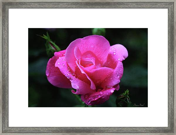 Pink Rose With Raindrops Framed Print