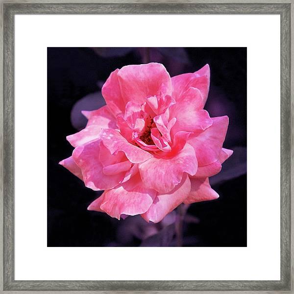 Pink Rose With Violet Framed Print