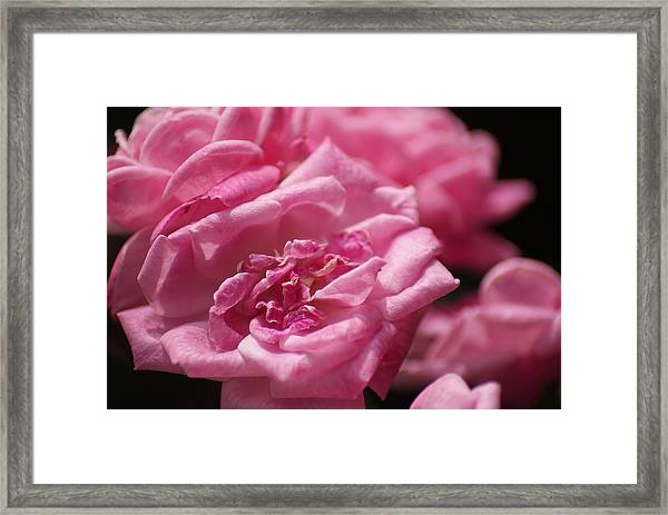 Pink Roses Framed Print by Heather Green