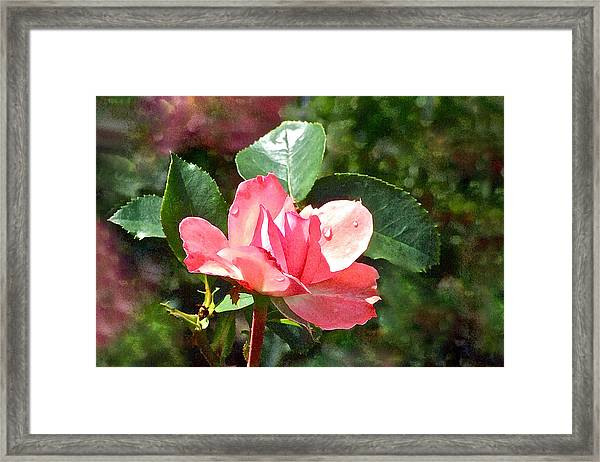 Pink Roses In The Rain 2 Framed Print