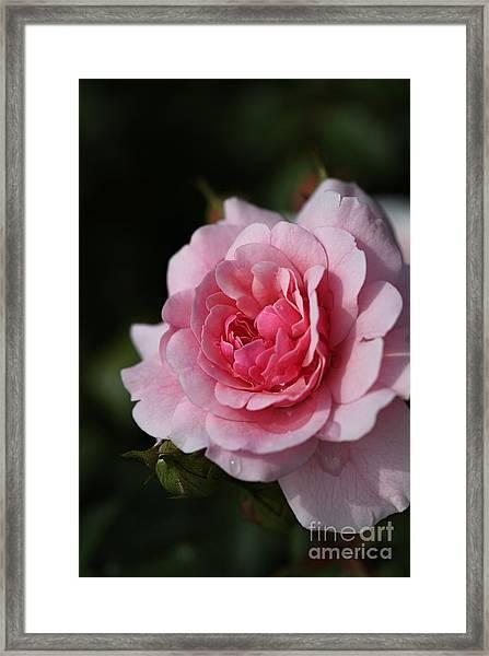 Pink Shades Of Rose Framed Print