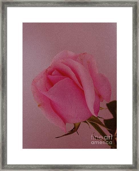 Pink Single Rose Framed Print