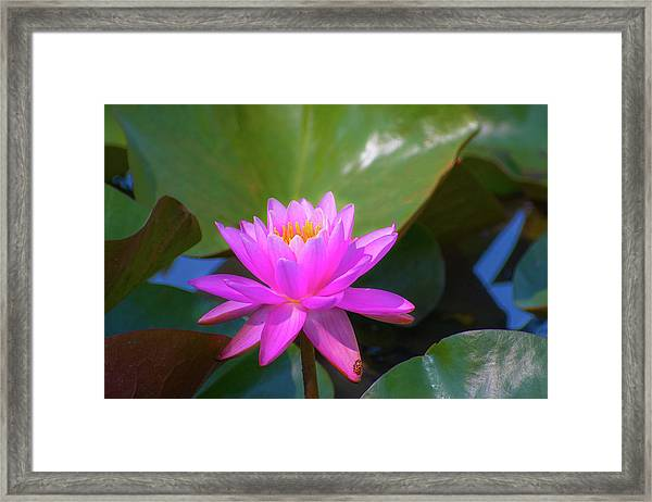 Pink Water Lilly And Ladybugs Framed Print