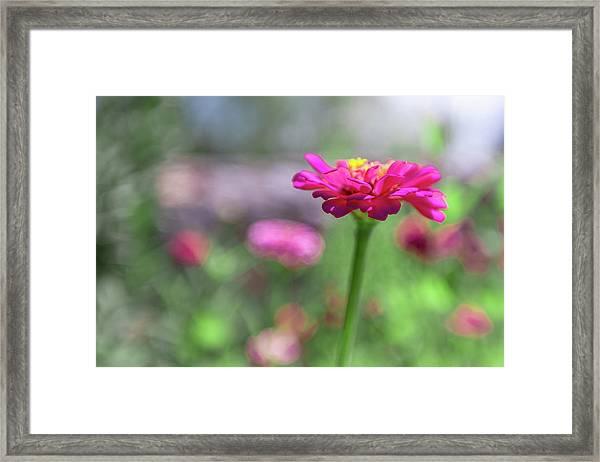 Pink Zinnia Framed Print