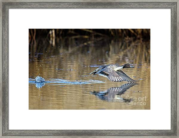 Pintail Departure Framed Print