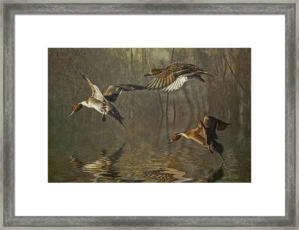 Pintail Ducks Framed Print